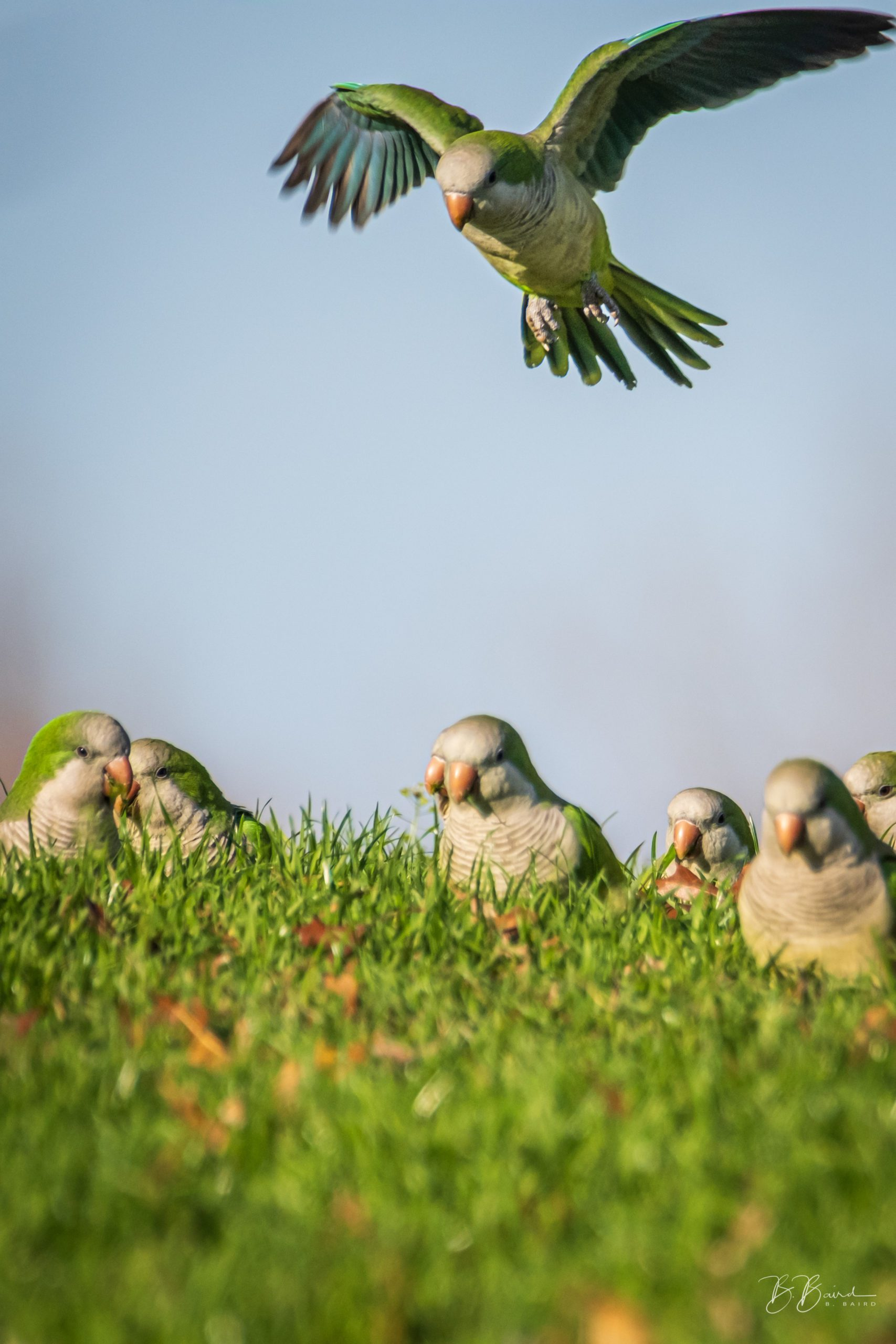 Parakeets Two by Bobbie Baird
