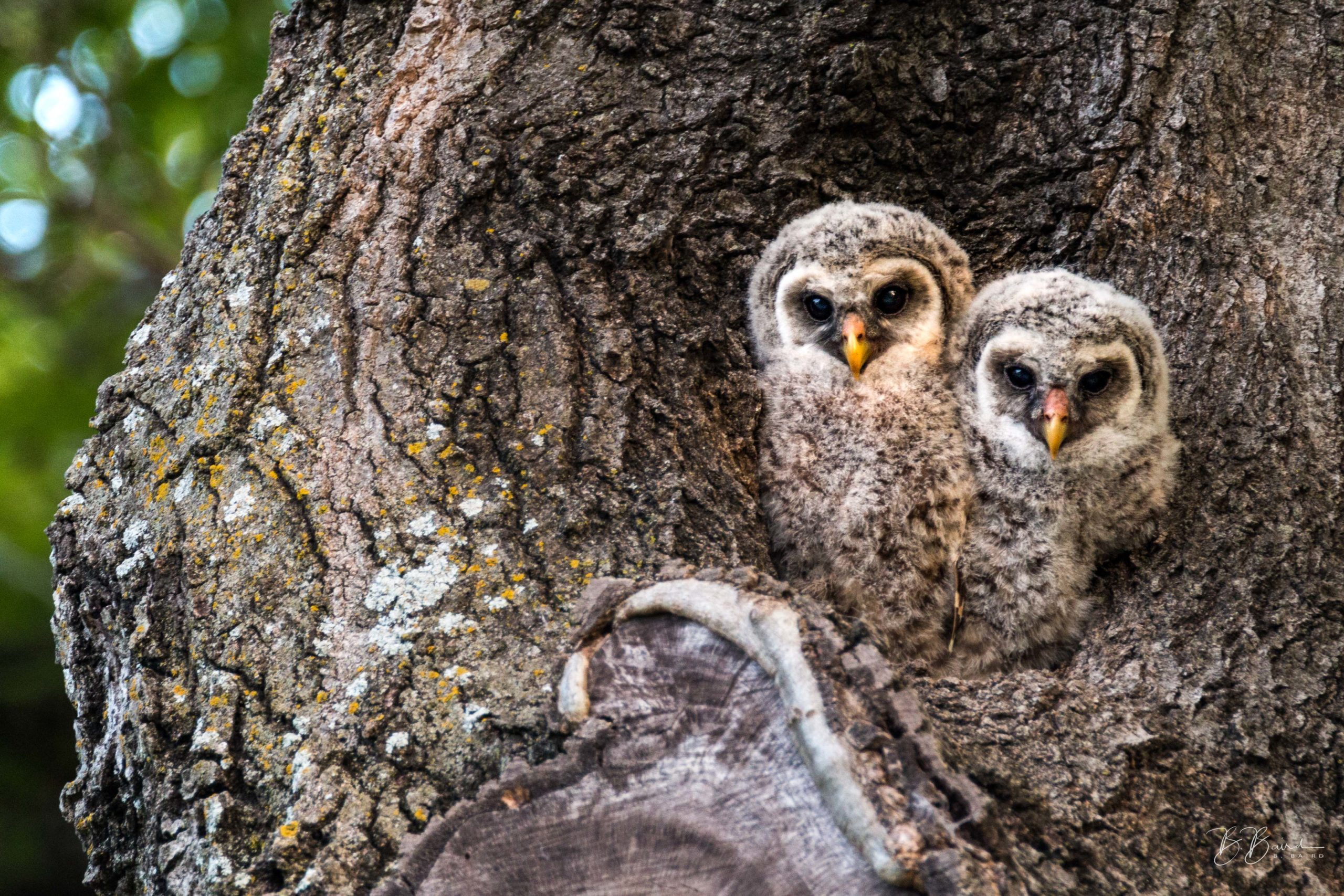 Baby Owls at White Rock Lake - photography by Bobby Baird
