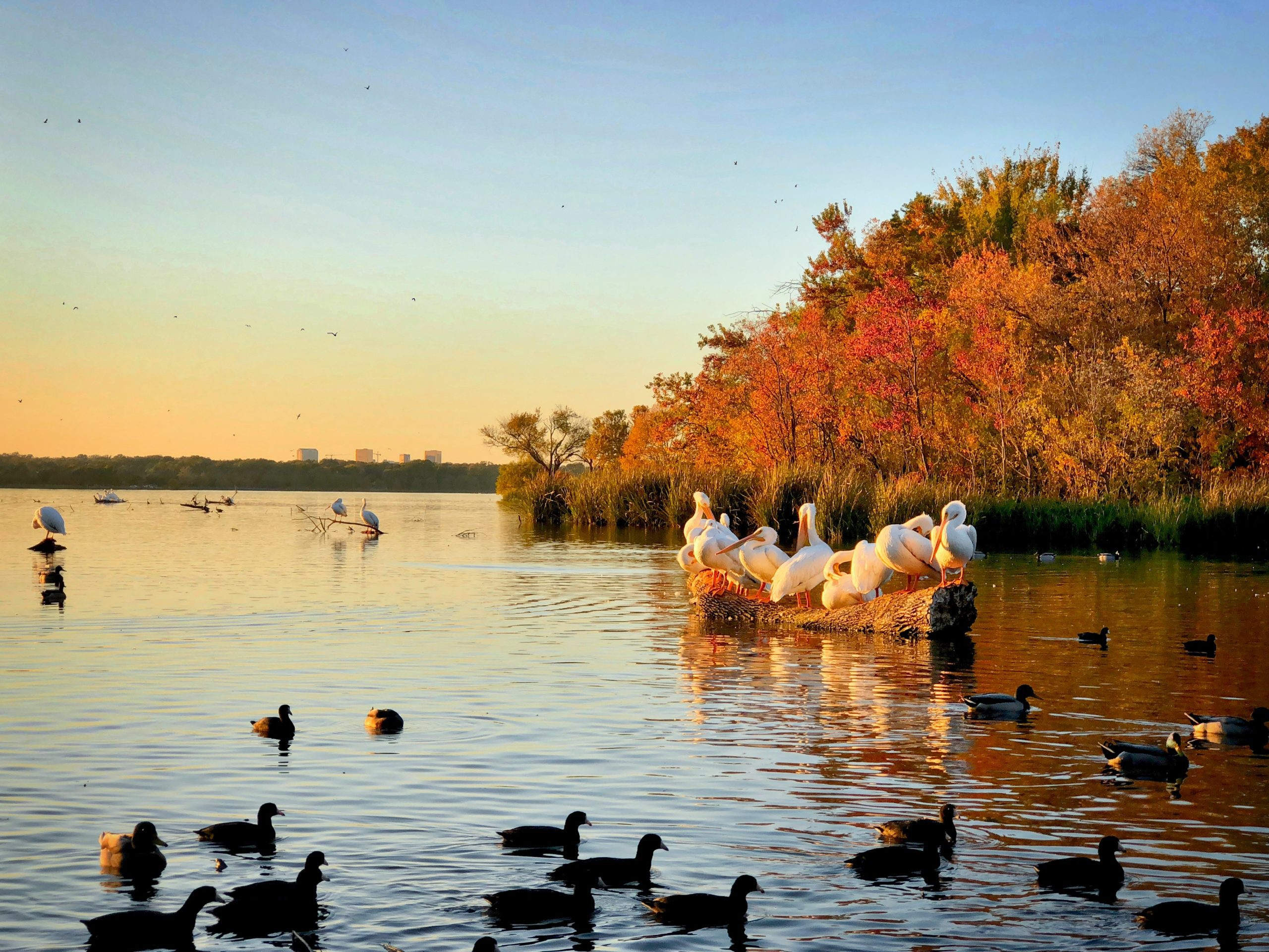 Pelicans and Ducks at White Rock Lake